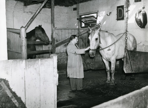 Horse in the stables of Messers McNamara and Co., 1949. (POST 118/1988)