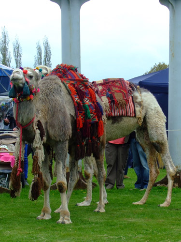 Camels dressed up in their finery, waiting for the afternoon race.
