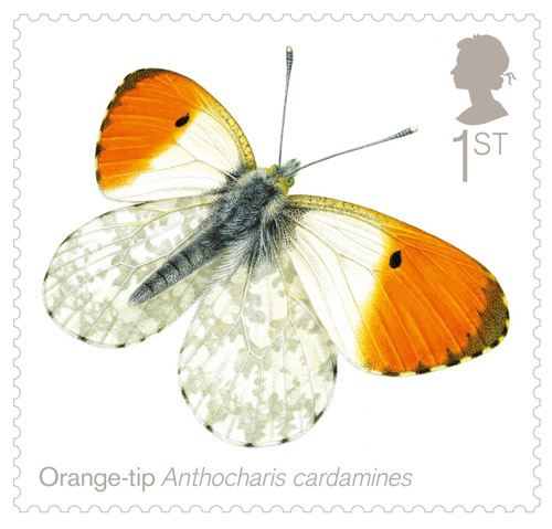 1st Class - Orange-tip (Anthocharis cardamines)