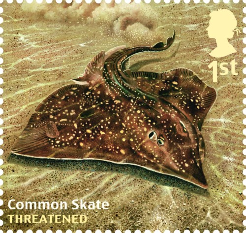 Common Skate, 1st class.